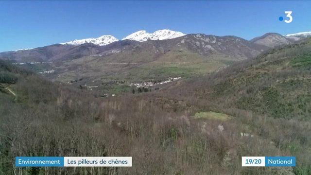 Environnement : un pillage de plusieurs centaines de chênes en Ariège