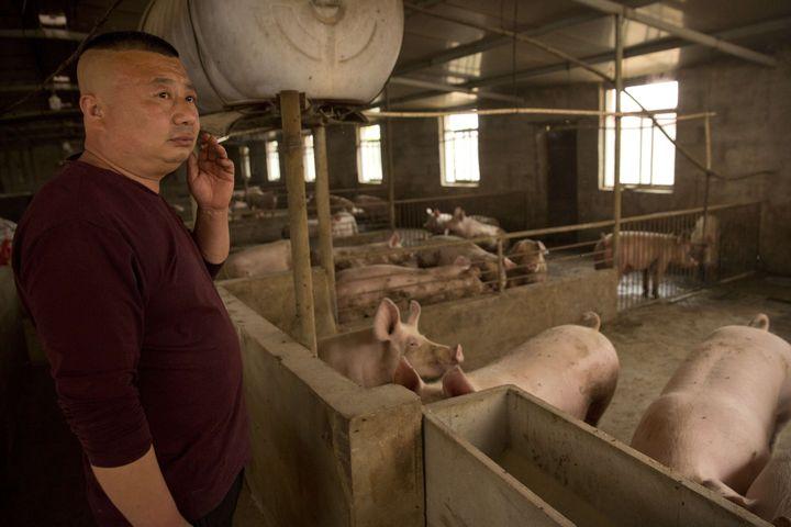 Un éleveur de porcs àPanggezhuang, dans la province de Hebei (nord-est de la Chine), le 8 mai 2019. (MARK SCHIEFELBEIN / AP / SIPA)
