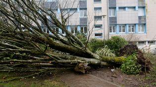 Trois lycéens ont été grièvement blessés par la chute de cet arbre à Carhaix-Plouguer (Finistère), le 6 mars 2017, lors du passage de la tempête Zeus. (FRED TANNEAU / AFP)