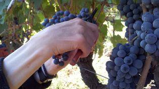 Les vendanges ont commencé le 19 août 2013 dans le Roussillon, traditionnellement la première région à récolter en France. (FRANCE 3 LANGUEDOC ROUSSILLON / FRANCETV INFO )