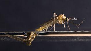 Un moustique commun. (BRASSELET / LEEMAGE / AFP)