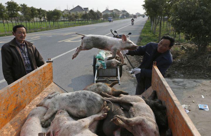 Des employés municipaux récupèrent des cadavres de porcs abandonnés au bord de la route, dans un village de la préfecture de Jiaxing (Chine), le 12 mars 2013. (REUTERS)