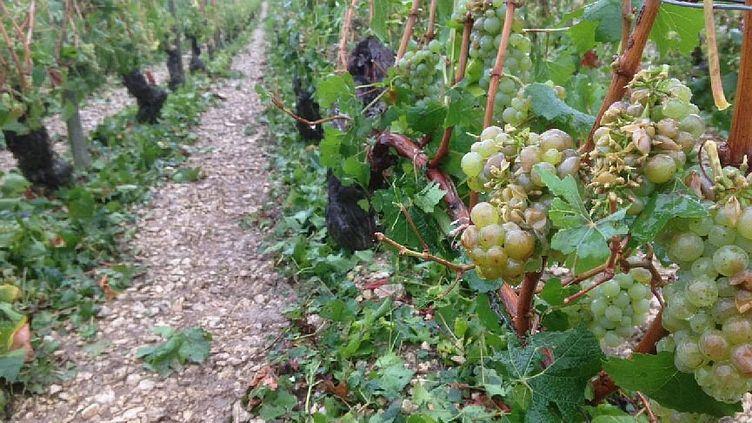 Des vignes de Chablis (Yonne), le 1er septembre 2015. (FRANCE 3 BOURGOGNE)