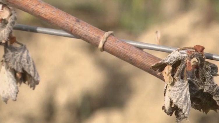 À cause du gel, le régime de calamité agricole a été déclenché pour aider les agriculteurs. (CAPTURE ECRAN FRANCE 3)
