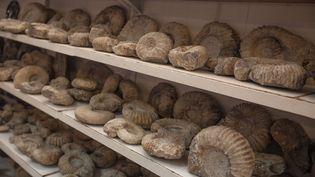 Paradis des paléontologues amateurs ou professionnels, Erfoud au Maroc est pillée par le business des fossiles. Des milliers de fossiles, mais aussi des squelettes de dinosaures quittent le pays chaque année. (SEBASTIAN CASTELIER/SIPA)