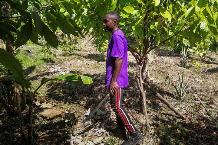 Machette à la main, les employés de la plantation de Julie Nyangui débroussaillent et vérifient la bonne croissance des jeunes plants de cacao, le 8 juin 2019). (SONIA BAKARIC / AFP)