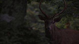 C'est un rituel lorsque l'automne arrive et les amoureux de nature, de nature sauvage, ne manqueraient pour rien au monde la période du brame du cerf. (CAPTURE ECRAN FRANCE 3)