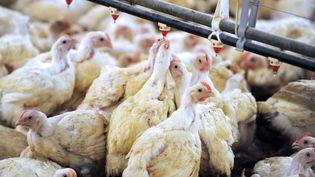 Un élevage de poulets en batterie dans une ferme de Plougoulm dans le Finistère, en 2012. (FRED TANNEAU / AFP)