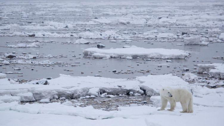 Un ours polaire sur la banquise àChurchill (Manitoba, Canada), le 14 novembre 2015. (KT MILLER / POLAR BEARS INTERNATIONAL / AFP)