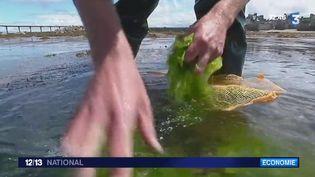 Les algues devraient prendre de plus en plus de place dans nos assiettes. Mais elles ne possèdent pas uniquement des propriétés alimentaires, elles ont aussi des vertus insoupçonnées. La France y croit, puisqu'elle compte parmi les leaders mondiaux dans le domaine de la recherche. (France 3)