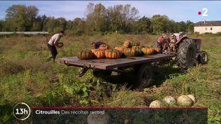 Agriculture : l'heure de la récolte des citrouilles a sonné (FRANCE 2)