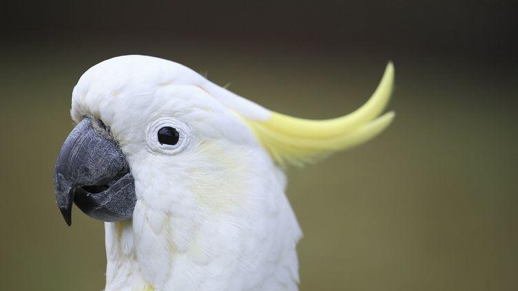 Un cacatoès à huppe jaune. (LEEMAGE / AFP)