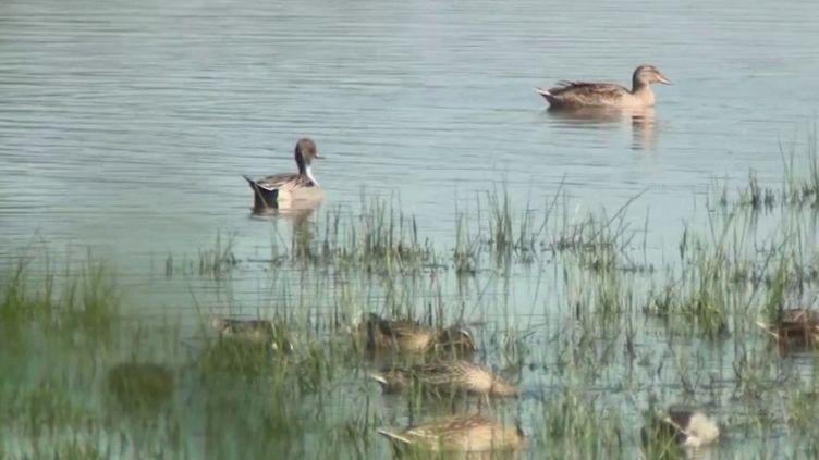 La réserve naturelle de l'Estuaire de la Seine (Seine-Maritime), désertée de ses visiteurs, est un véritable havre de paix pour ses oiseaux. (FRANCE 3)