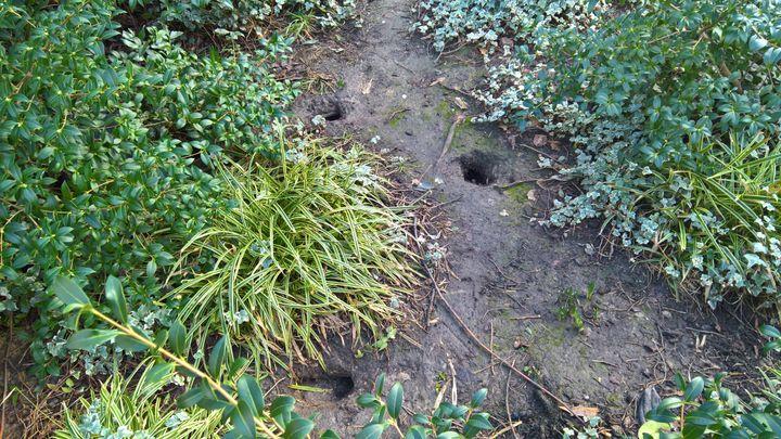 Les rats creusent des terriers dans les parcs et jardins parisiens. (F. MAGNENOU / FRANCEINFO)