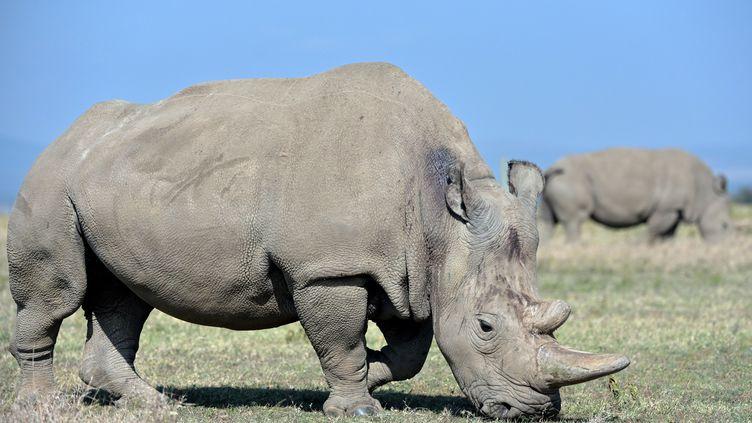 Najin (30 ans) et sa fille Fatu (19 ans), les deux dernières femelles rhinocéros blanc du Nord dans la reserve Ol Pejeta au Kenya. (TONY KARUMBA / AFP)