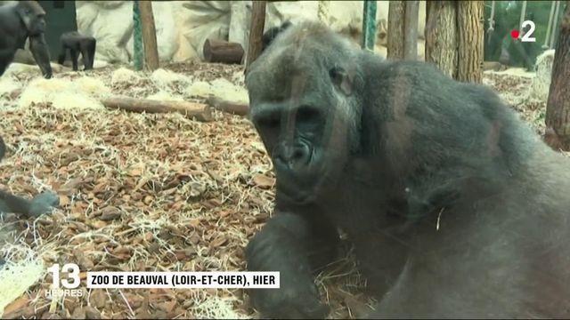 Nature : deux femelles gorilles du zoo de Beauval vont être libérées