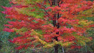 Un arbre se teinte des trois couleurs de l'automne, le 5 octobre 2014, dans le Michigan (Etats-Unis). (JULIE FALK / FLICKR)