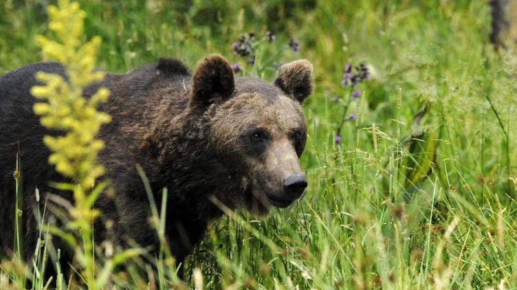 Un ours dans les Pyrénées (illustration). (LAUNETTE FLORIAN / MAXPPP)