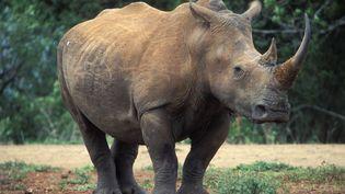Rhinoceros blanc de la réserve sud-africaine de Hluhluwe-Imfolozi Game au KwaZulu-Natal. Novembre 2011. (BILDAGENTUR RM / TIPS)