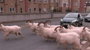 Les habitants d'une bourgade côtière située au pays de Galles ont eu la surprise de voir un troupeau de chèvres envahir les rues. (France 2)