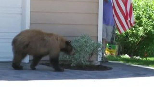 Californie : les animaux sauvages investissent les centres-villes