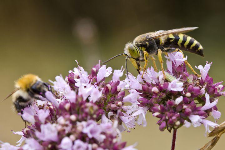 Une abeille (à g.) et une guêpe (à dr.). (TIM GRAHAM / GETTY IMAGES)
