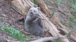 Capture d'écran des images d'Auberta, l'oursonne qui grandit sous les caméras de l'Aran Park dans les Pyrénées espagnoles. ( YOUTUBE)