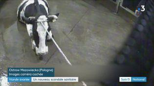 Une vache malade abattue malgré tout pour sa viande en Pologne (France 3)