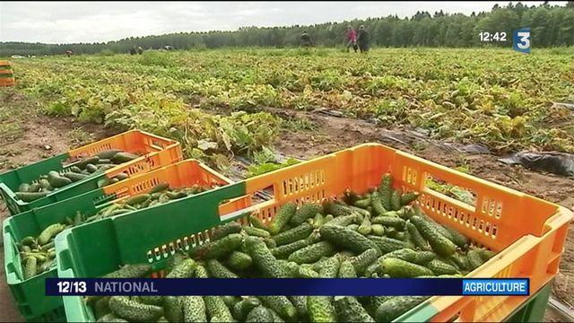 Sarthe : un maraicher relance la production de cornichons français