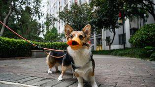 Un chien portant un masque, promené en laisse, le 4 février 2020 à Guangzhou (Chine) pendant l'épidémie de nouveau coronavirus. (ANADOLU AGENCY / AFP)