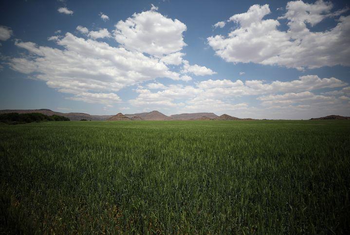 Champ de blé près de la localité de Van Der Kloof (centre de l'Afrique du Sud), le 29 octobre 2018 (REUTERS - MIKE HUTCHINGS / X00388)