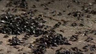 Le village de Lazorevy dans l'Oural (Russie) est envahi de mouches et les habitants ne savent plus comment y remédier. (FRANCE 2)