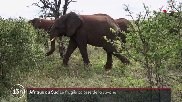 Afrique du Sud : l'éléphant, le fragile colosse de la savane