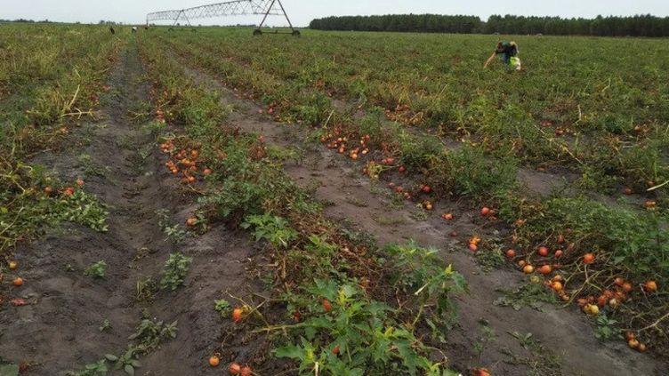 Les cueilleurs de tomates sont au rendez-vous sur la parcelle des Champs bio, à Hourtin, pour ramasser les fruits avant qu'ils ne soient irrécupérables. (CELINE AUTIN / RADIO FRANCE)