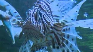 Il a un nom poétique, mais fait des ravages : le poisson-lion ou rascasse sauvage, originaire de l'océan indien, envahit les fonds marins de l'Est de la Méditerranée et met en danger la biodiversité. (FRANCE 2)