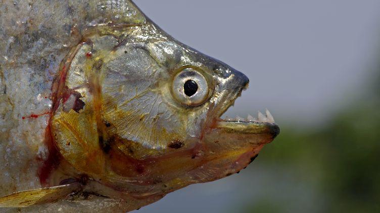 Le piranha vit dans des eaux tropicales à une température d'une vingtaine de degrés. (MICHEL LEFEVRE / BIOSPHOTO / AFP)