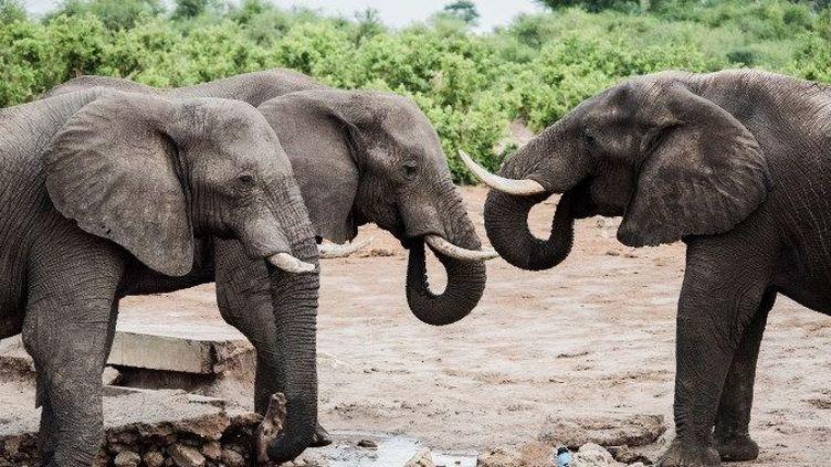 Le trafic de l'ivoire aurait fait dégringoler le nombre des éléphants de 415.000 à 111.000 au cours de la dernière décennie en Afrique.   (ROSANNA U / IMAGE SOURCE/AFP)