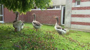 Ces oies sont les nouvelles pensionnaires de l'Ehpad du Bois Martel à Fécamp. (France 3 Normandie)