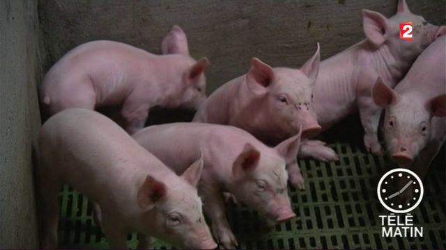 Les porcs, futurs fournisseurs d'organes pour l'homme ?