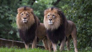 Deux lions observent les visiteurs depuis leur enclos lors de la réouverture du parc zoologique national de Washington, aux Etats-Unis, le 24 juillet 2020, après sa fermeture en mars en raison de la pandémie de Covid-19. (ANDREW CABALLERO-REYNOLDS / AFP)