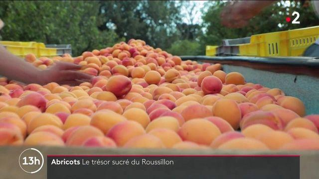 AOP d'exception : à la découverte de l'abricot rouge, le trésor sucré du Roussillon
