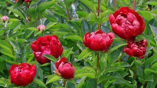 Pivoines en fleurs (ULLSTEIN BILD / GETTY IMAGES)