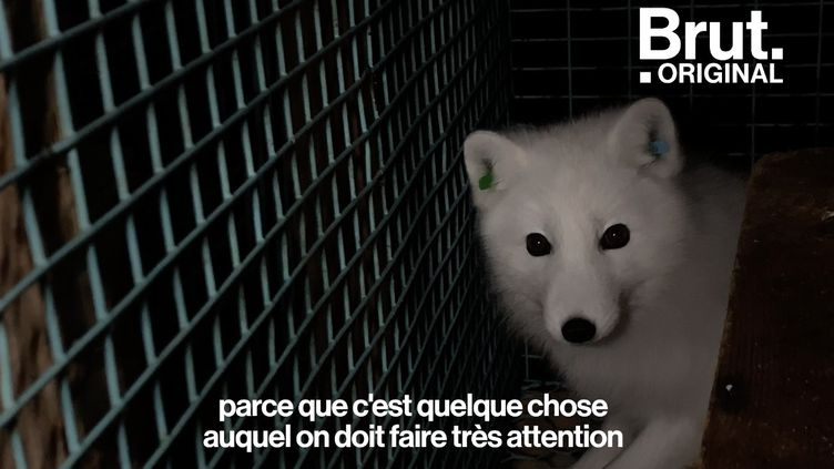 VIDEO. En Norvège, un centre assure la survie des renards polaires (BRUT)
