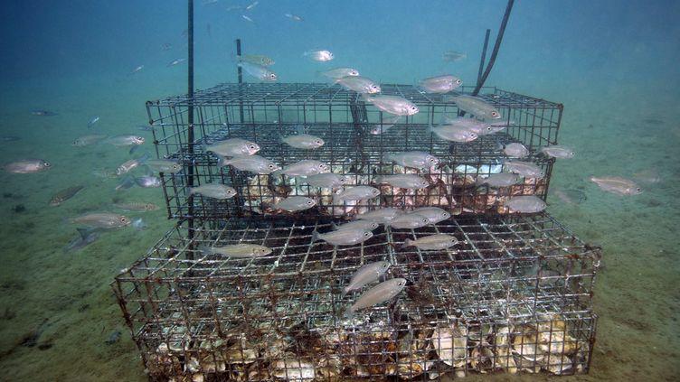 Les biohuts sont des nurseries artificielles qui permettent de protéger les petits poissons. (BORIS HORVAT / AFP)