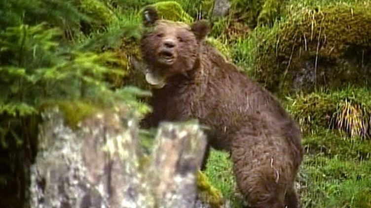 L'un des ours slovènes relâchés dans le massif pyrénéen (AFP - ministère de l'Ecologie)