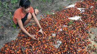 Amnesty International dénonce l'exploitation d'enfants qui travaillent à la fabrication d'huile de palme en Indonésie (ADEK BERRY / AFP)