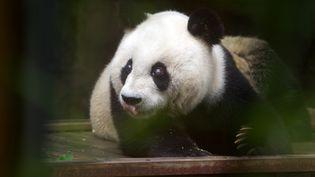 Le personnel du zoo de Taipei (Taïwan)a dû réaliser une radiographie pour se rendre compte que Yuan Yuan n'était pas enceinte. (MAXPPP)