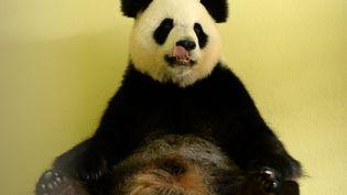 La femelle panda Huan Huan du zoo de Beauval (Loir-et-Cher) doit accoucher de deux bébés le 4 ou le 5 août 2017. (GUILLAUME SOUVANT / AFP)
