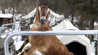 Lincoln, la chèvre de 3 ans qui a été élue maire honoraire de la ville de Fair Haven dans le Vermont (Etats-Unis),ici le 6 mars 2019, au lendemain de son élection. (ROBERT LAYMAN / RUTLAND HERALD / AFP)
