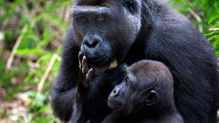 (Les gorilles du Cameroun eux-aussi à l'origine de l'épidémie de Sida © REUTERS | Finbarr O'Reilly)
